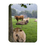 Cattle on rural farmland near the town of rectangular photo magnet