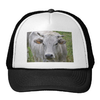 Cattle or cow animals in a farm trucker hats