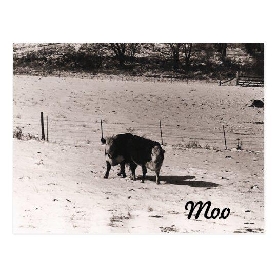 Cattle Postcard