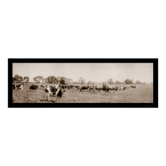 Cattle Ranching AZ Photo 1912 Poster