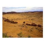 Cattle roundup postcard