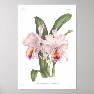 Cattleta trianae poster