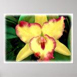 Cattleya amarillo con los volantes rojos poster