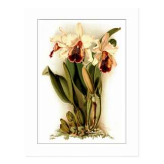 Cattleya dowiana aurea postcard