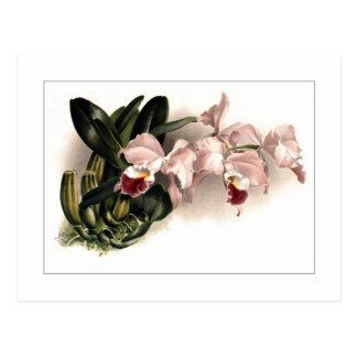 Cattleya labiata gaskelliana postcard