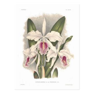 Cattleya maxima var virginalis postcard