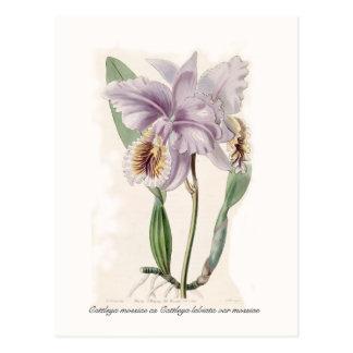 Cattleya mossiae postcard