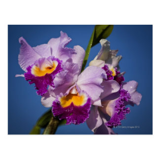 Cattleya Orchid Hybrid With Pacific Ocean Postcard