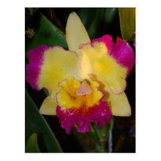 Cattleya orchid postcard