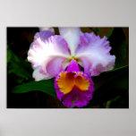 Cattleya Orchid - White/Purple/Yellow Print