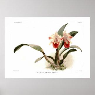 Cattleya trianae ernesti poster