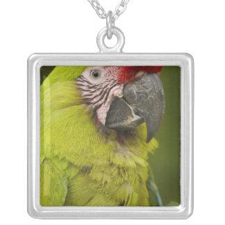 CAUTIVO militar del macaw (militaris del Ara). El Collar Plateado