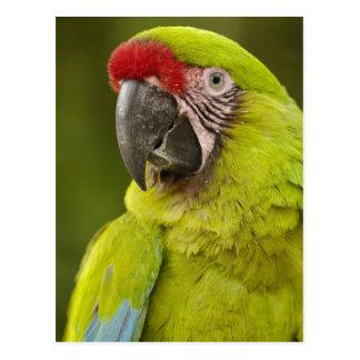CAUTIVO militar del macaw (militaris del Ara). El Postal