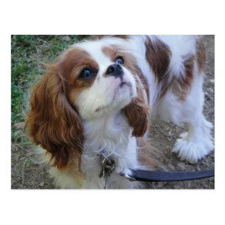 Cavalier King Charles cute puppy dog postcard
