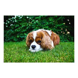Cavalier King Charles Spaniel Blenheim in Grass Photo