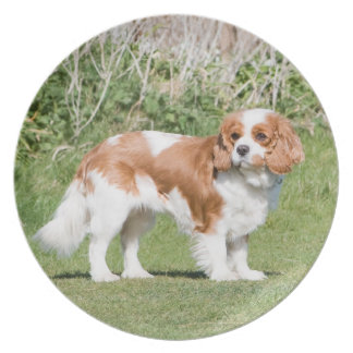 Cavalier King Charles Spaniel dog beautiful photo Plate