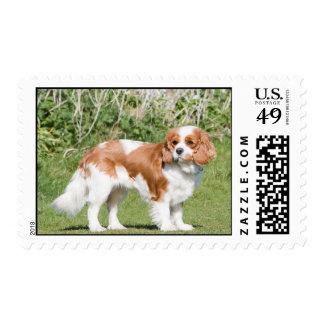 Cavalier King Charles Spaniel dog beautiful photo Postage