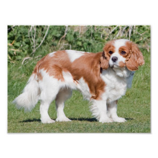 Cavalier King Charles Spaniel dog photo poster