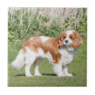 Cavalier King Charles Spaniel dog photo tile