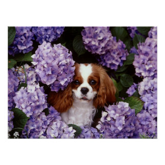 Cavalier King Charles Spaniel Dog Posters
