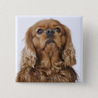 Cavalier King Charles Spaniel looking up Button