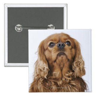 Cavalier King Charles Spaniel looking up Pinback Button