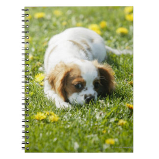 Cavalier King Charles Spaniel Spiral Notebooks