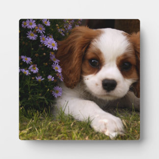 Cavalier King Charles Spaniel Puppy behind flowers Plaque