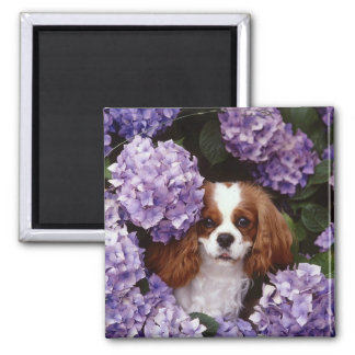 Cavalier King Charles Spaniel Red and White Magnet