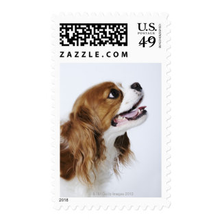 Cavalier King Charles Spaniel, side view Stamp