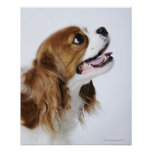 Cavalier King Charles Spaniel, side view Poster