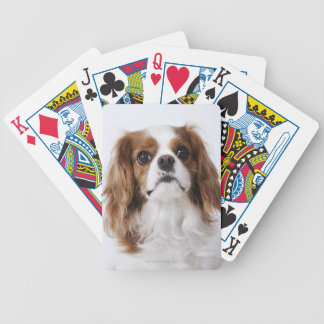 Cavalier King Charles Spaniel sitting in studio Bicycle Playing Cards