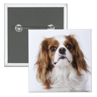 Cavalier King Charles Spaniel sitting in studio Button