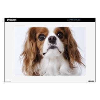 Cavalier King Charles Spaniel sitting in studio Laptop Decal