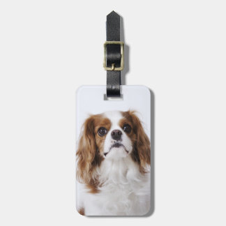 Cavalier King Charles Spaniel sitting in studio Tags For Luggage