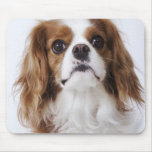 Cavalier King Charles Spaniel sitting in studio Mouse Pad