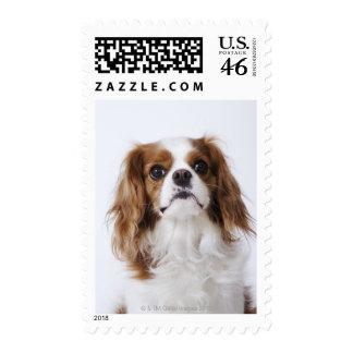 Cavalier King Charles Spaniel sitting in studio Postage Stamps