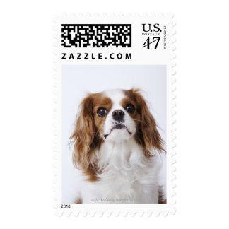 Cavalier King Charles Spaniel sitting in studio Stamp