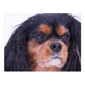 Cavalier King Charles With Snowflakes Postcard