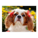 Cavalier Puppy with bows Postcard