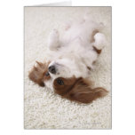 Cavalier showing belly greeting card