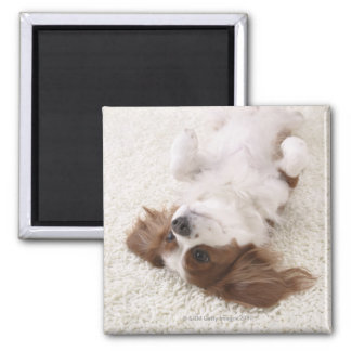 Cavalier showing belly magnet