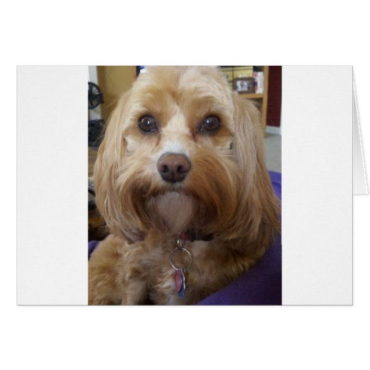 Cavapoo or Cavadoodle products Card