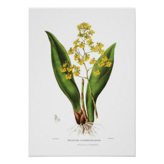 Cavendishianum de Oncidium de Srta. S un Drake Poster