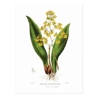 Cavendishianum de Oncidium Postal