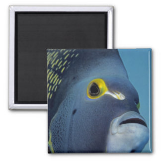 Cayman Islands, French Angelfish Pomacanthus 2 Inch Square Magnet