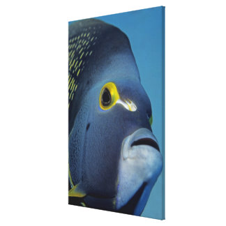Cayman Islands, French Angelfish Pomacanthus Canvas Print