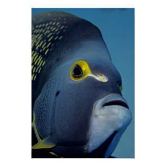 Cayman Islands, French Angelfish Pomacanthus Poster