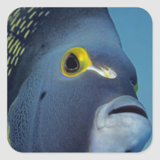 Cayman Islands, French Angelfish Pomacanthus Square Sticker