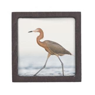 Caza adulta del Egret rojizo en la bahía, Tejas Cajas De Recuerdo De Calidad